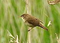 Reed Warbler in Stodmarsh NNR.jpg