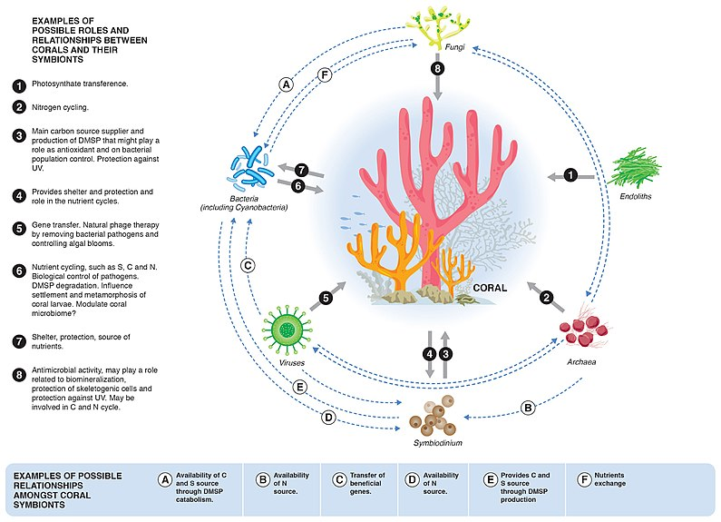 Relationships between corals and their microbial symbionts Relationships between corals and their microbial symbionts.jpg