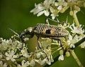Rhagium mordax . Cerambycidae (49223251556).jpg