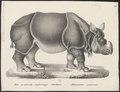 Rhinoceros unicornis - 1700-1880 - Print - Iconographia Zoologica - Special Collections University of Amsterdam - UBA01 IZ22000231.tif