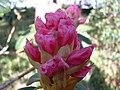 Rhododendron - Rogaland Arboret.jpg
