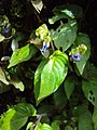 Rhynchoglossum obliquum 15.JPG