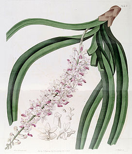 Rhynchostylis retusa (as Sarcanthus guttatus) - Edwards vol 17 pl 1443 (1831).jpg