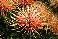 Ribbon pincushion, Leucospermum tottum at Kirstenbosch National Botanical Garden, Cape Town, South Africa (16930892966).jpg