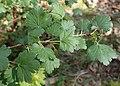 Ribes uva-crispa kz03.jpg