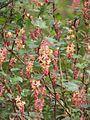 Ribes x beatonii (13620543983).jpg