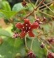 Ribesviburnifolium.jpg