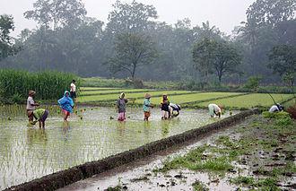 Kewu Plain - Javanese women planting rice in a ricefield near Prambanan, Yogyakarta