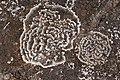 Ring lichen Roche écrite 3.JPG