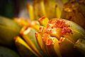 Ripen Mangoes By Anis Shaikh 12.jpg