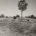 Robbers Tree on the sandhill at Cunnamulla circa 1920.jpg