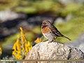 Robin Accentor (Prunella rubeculoides) (46146936375).jpg