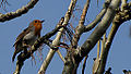 Robin singing away.. (5568595330).jpg
