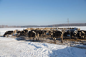 Food industry of Russia - Dairy cattle in Russia