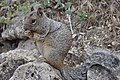 Rock squirrel - Grand Canyon National Park - 5.jpg