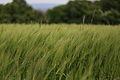Roggen - barley ? (Hordeum vulgare) (10491510674).jpg