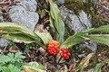 Rohdea japonica s3.jpg