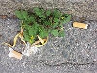 Rorippa sylvestris (s. str.) sl20.jpg