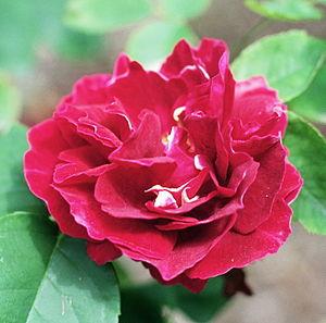 "Amédée Girod de l'Ain - The rose cultivar ""Baron Girod de l' Ain"""