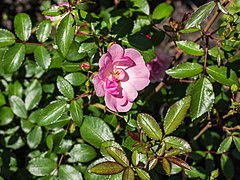 Rosa 'Lasting Beauty' (d.j.b) 01.jpg