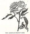 Rosa American Beauty illustration.jpg