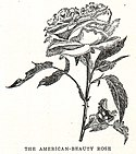 Rosa American Beauty illustration.jpg