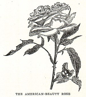 Rosa 'American Beauty' - Image: Rosa American Beauty illustration