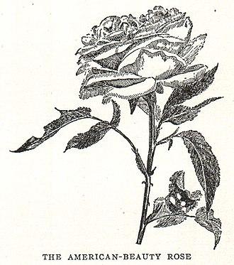 Rosa 'American Beauty' - Image: Rosa American Beauty illustration