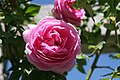 Rosa Louise Odier 4zz.jpg