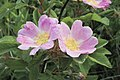 Rosa blanda EARLY WILD ROSE (4663783103).jpg