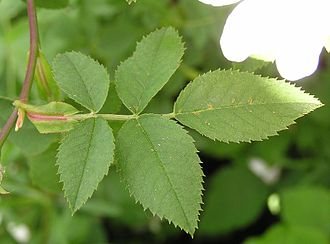 Petiole (botany) - Leaf of dog rose (Rosa canina), showing the petiole, two leafy stipules, the rachis, and five leaflets