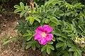 Rosa rugosa 09.jpg