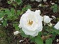 Rosa sp.297.jpg