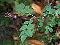 Rosa spinosissima fruit (34).jpg