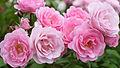 Rose, Pink Triumph, バラ, ピンク トライアンフ, (15294902023).jpg