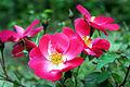 Rose Chuckles バラ チャックルス (6388361045).jpg