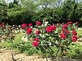 Rose Garden in Umino Nakamichi Seaside Park 2.JPG