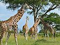 Rothschild's Giraffes (Giraffa camelopardalis rothschildi) (7083117133).jpg