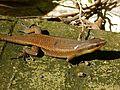 Rough Mabuya (Eutropis rudis) (8082538445).jpg