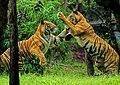 Royal bengal tiger play.jpg