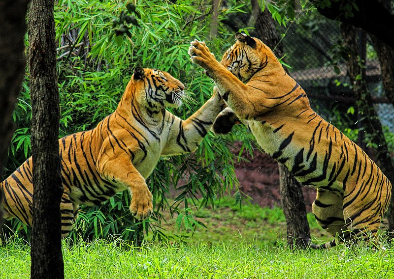 Royal Bengal tigers playing with paws in air.