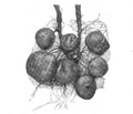 Roze fig.155.png