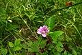Rubus arcticus in Estonia.jpg