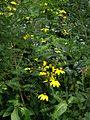 Rudbeckia Herbstsonne - Flickr - peganum.jpg