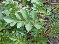 Rudbeckia laciniata 2017-04-20 8233.jpg