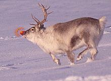 Les Renne Du Pere Noel.Rudolphe Le Renne Au Nez Rouge Wikipédia