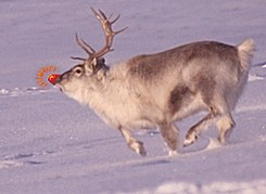 Rudolph the Red-Nosed Reindeer.jpg