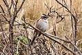 Rufous-collared Sparrow (Zonotrichia capensis) (8077567838).jpg