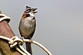 Rufous-collared Sparrow - Correporsuelo (Zonotrichia capensis) (12754604073).jpg