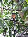 Rufous treepie 1.jpg